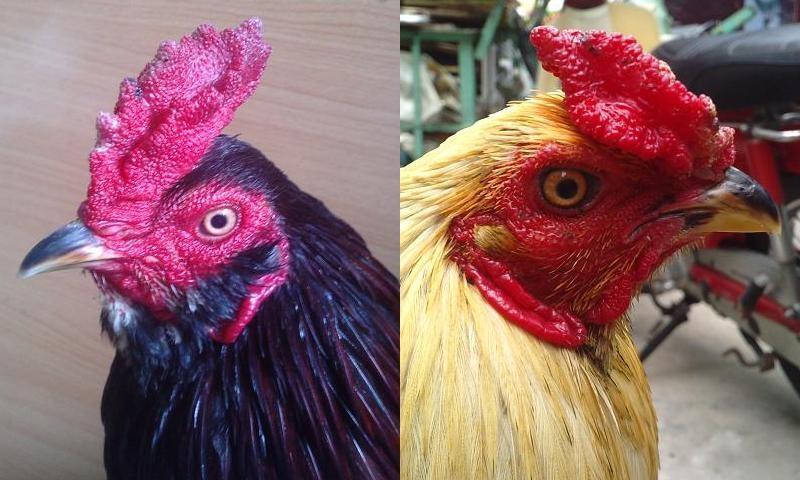 xem mồng gà