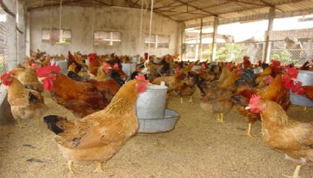Chăn nuôi gà tam hoàng