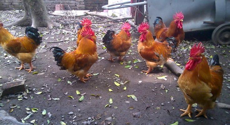 Đặc điểm gà tam hoàng