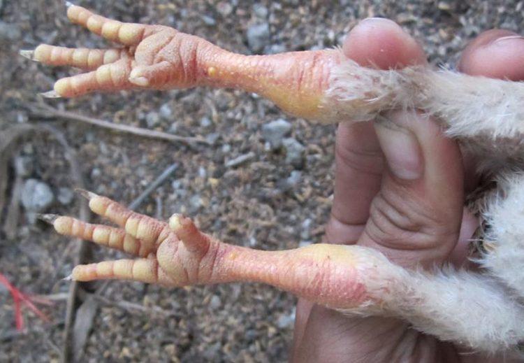 gà đau chân