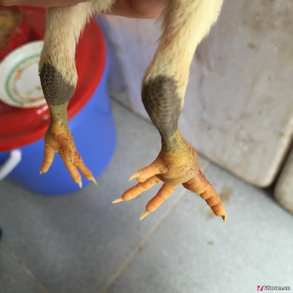 gà bị sưng khớp chân