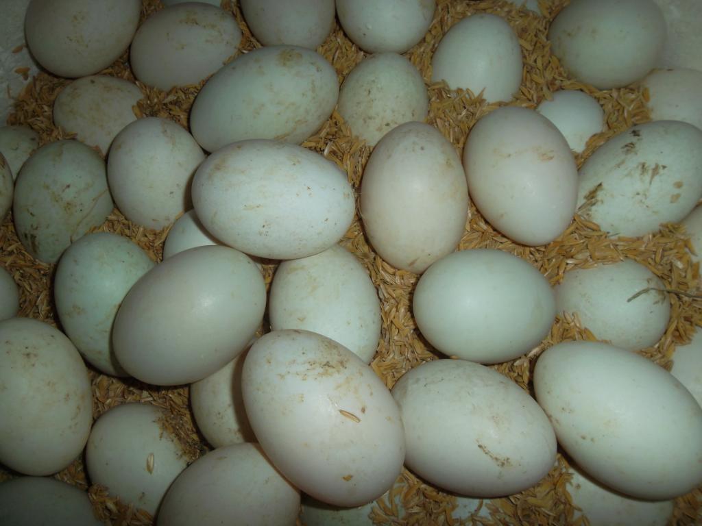 cách ấp trứng gà thủ công
