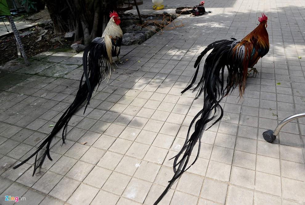 gà Nhật Bản