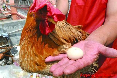 Gà Trống đẻ trứng